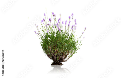 Garden Poster Lavender fleurs de lavande sur fond blanc