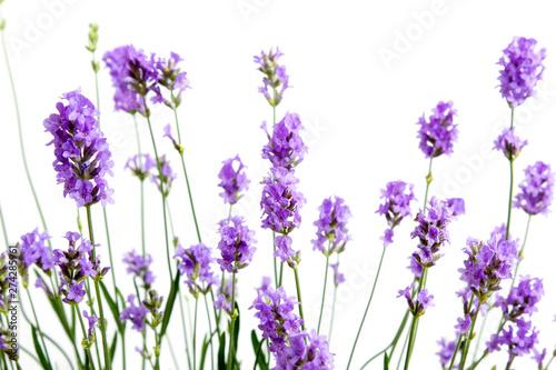 Fotobehang Lavendel fleurs de lavande sur fond blanc
