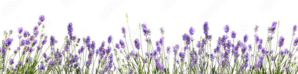 Fototapety, obrazy: bannière avec des fleurs de lavande sur fond blanc