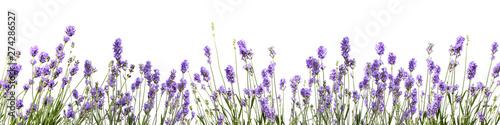 Foto op Canvas Lavendel bannière avec des fleurs de lavande sur fond blanc