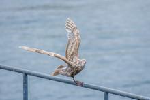 Seagull Flies Away From Perch.
