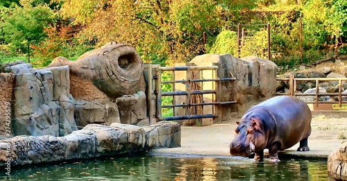 Photo In the image we see a large hippopotamus at the reservoir.