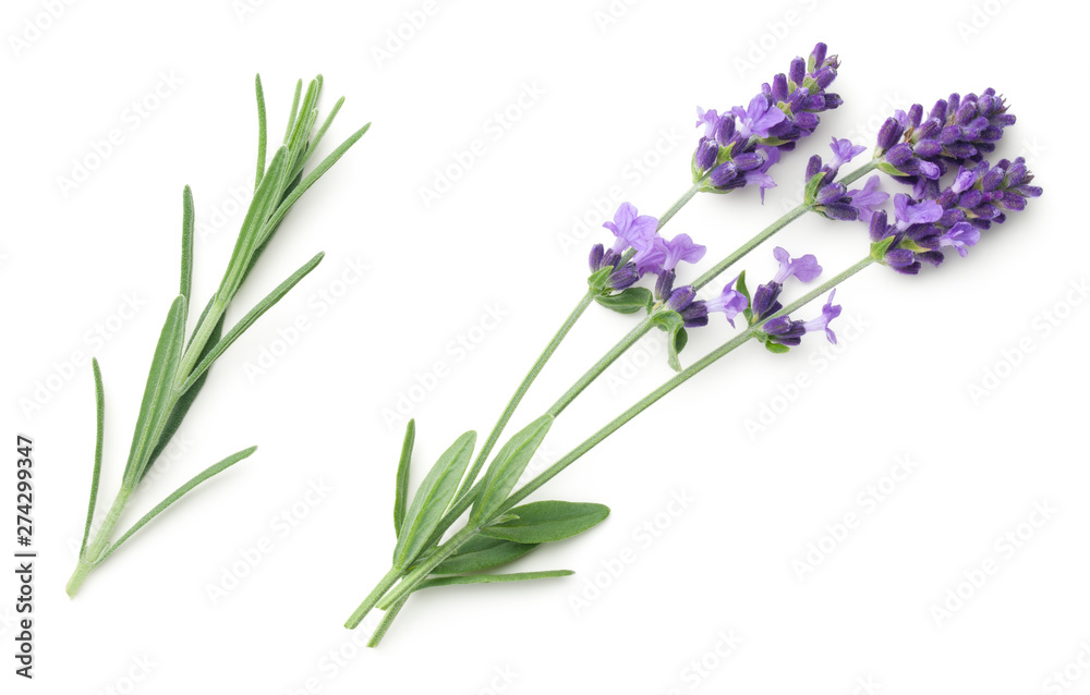 Fototapety, obrazy: Lavender Flowers Isolated On White Background