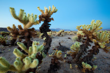 Teddy Bear Cactus Or Jumping Cholla In Joshua Tree National Park In Southern California.
