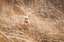 Dakotah The Yellow Lab Bounds Through The Grass While Bird Hunting Outside Moscow, Idaho.