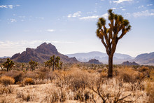 Joshua Tree National Park, California, USA: A Single Joshua Tree With The Desert And Mountains In The Background Captured Near The Parks West Entrance.