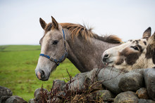 Horse And Mule Out To Pasture In Ireland