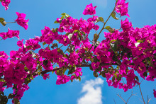 Beautiful Red Or Pink Bougainvillea Flowers, Plants And Garden In Bodrum City Of Turkey. View Of Beautiful Garden At Summer Season In Bodrum Town Turkey.