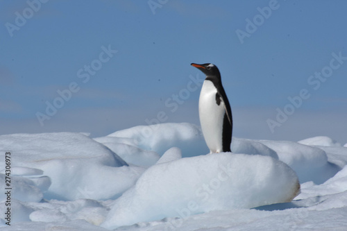 Tuinposter Pinguin Penguin in Damoy Point Antarctica