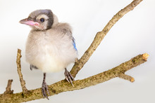 Baby Blue Jay Sitting On A Bra...