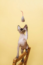 Sphynx Kitten Looks Up And Plays With Grey Soft Toy Mouse