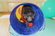 Funny Labradoodle Puppy. Therapy Dog
