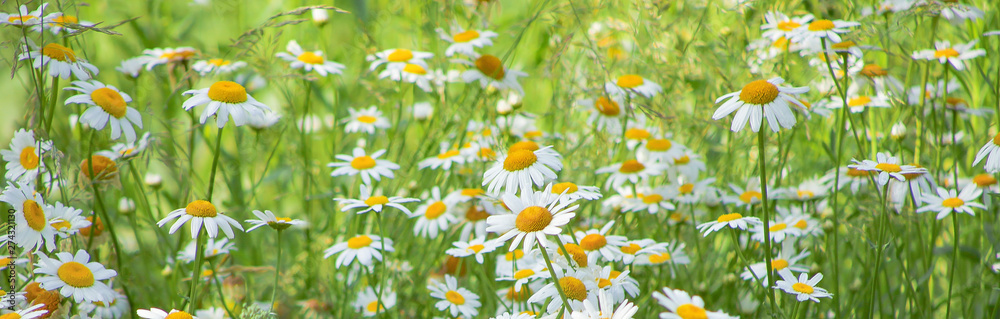 Fototapety, obrazy: Flowering of daisies in meadow. Chamomile flowers in wild grass field.