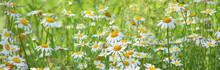 Flowering Of Daisies In Meadow. Chamomile Flowers In Wild Grass Field.