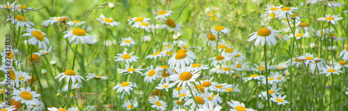 Photo sur Aluminium Marguerites Flowering of daisies in meadow. Chamomile flowers in wild grass field.