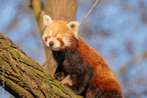 Photo  tired little panda