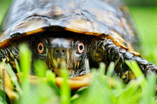 Fotografie, Obraz Box turtle close up eyes  in grass