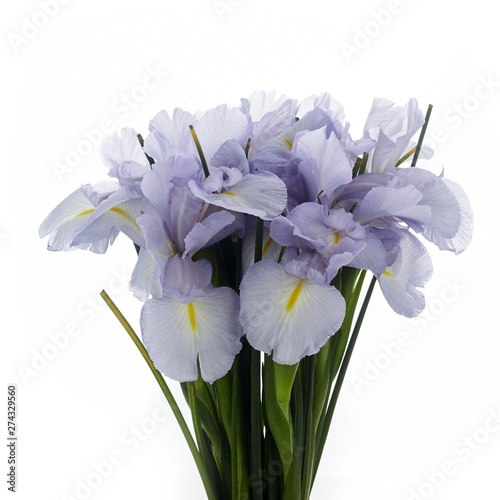 Light Blue Colored Iris Flower Isolated on White Background.