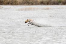 Yellow Labrador Retriever Runn...