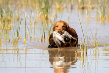 Golden Retriever In The Water With A Duck