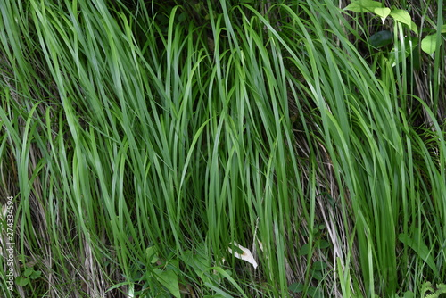 Fototapeta  Carex morrowii is an evergreen perennial that grows in the shade of mountains