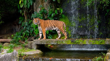 Beautiful Tiger Looked To The Left With Green Leaves And Waterfall Background, Siberian Tiger In The Forest, Predator Animal, Wildlife Scene With Dangerous Animal. - Image