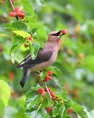 Fototapetacedar waxing bird eating mulberry fruit on the tree