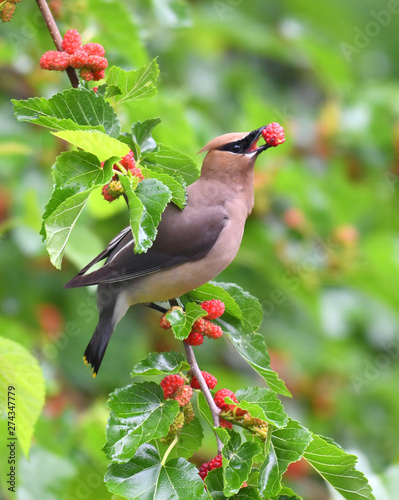 Poster Affiche vintage cedar waxing bird eating mulberry fruit on the tree