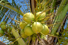 Bunch Of Fresh Young Coconuts On Green Palm Tree In Thailand