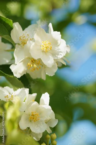Obraz na plátne Blooming jasmine bush (Chubushnik)