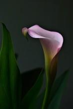 Calle Flower On Black