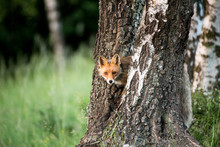 Wild European Red Fox (Vulpes Vulpes) Climbs A Birch Tree . Image Taken In Slovakia, Wildlife Scenery.