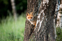 Wild European Red Fox (Vulpes ...