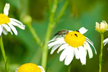 Snout Beetle On A Daisy