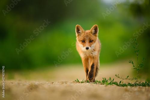 Valokuva Red fox cub , Vulpes Vulpes