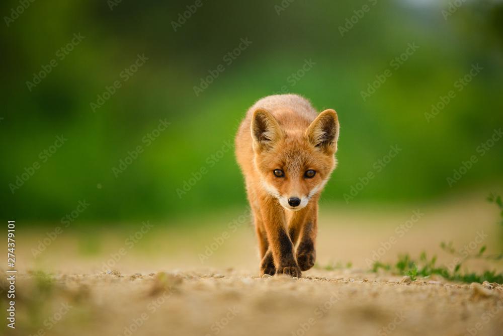 Fototapety, obrazy: Red fox cub , Vulpes Vulpes