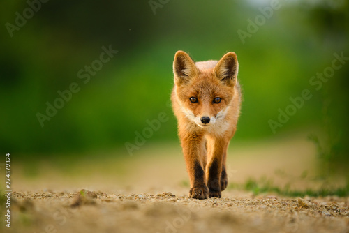 Red fox cub , Vulpes Vulpes Wallpaper Mural