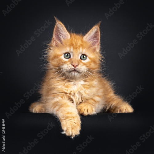 Valokuva  Sweet little red Maine Coon cat kitten, laying down facing front