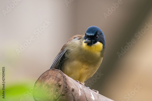 A blue-crowned laughingthrush, Garrulax courtoisi, perched on a tree stump Fototapete