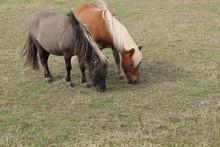 Two Shetland Ponies Grazing In...