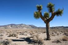 Joshua Tree Or Yucca Palm (Yucca Brevifolia) Near Death Valley, California, USA, North America