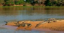 Yacare Caimans (Caiman Yacare,...