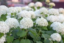 White Hydrangea Blooming In The Evening Summer Garden
