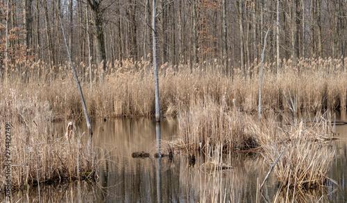 Fotografie, Obraz  reeds in the lake