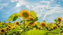Sunflowers Grow In The Field In The Summer Of The Background Of The Blue Sky. Close-up