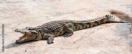 Photo  Large freshwater crocodile Sunbathing by the pool.