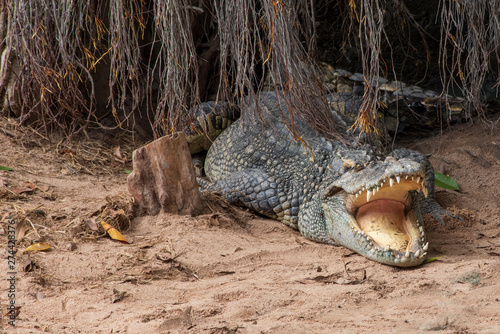 Large freshwater crocodile Lying in the trees. Canvas Print