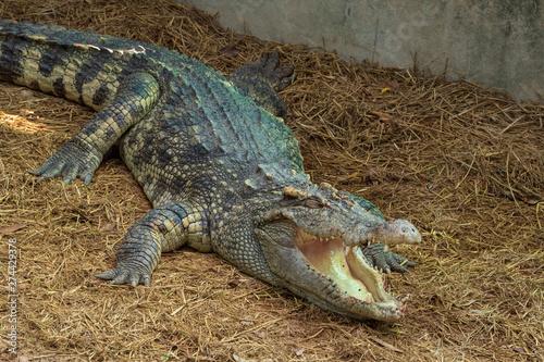 Poster Crocodile A large freshwater crocodile is sunbathing on the ground.