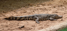 A Large Freshwater Crocodile Is Sunbathing On The Ground.