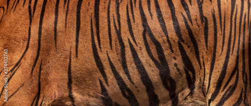 Photographie Picture of a large real tiger skin.